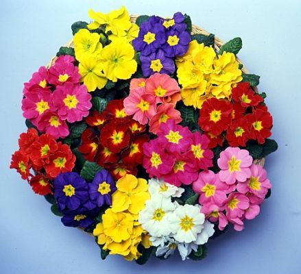 Primula veris grandissima for Primule immagini