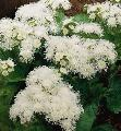 Ageratum hawaii white