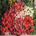 Begonia super olimpia mix